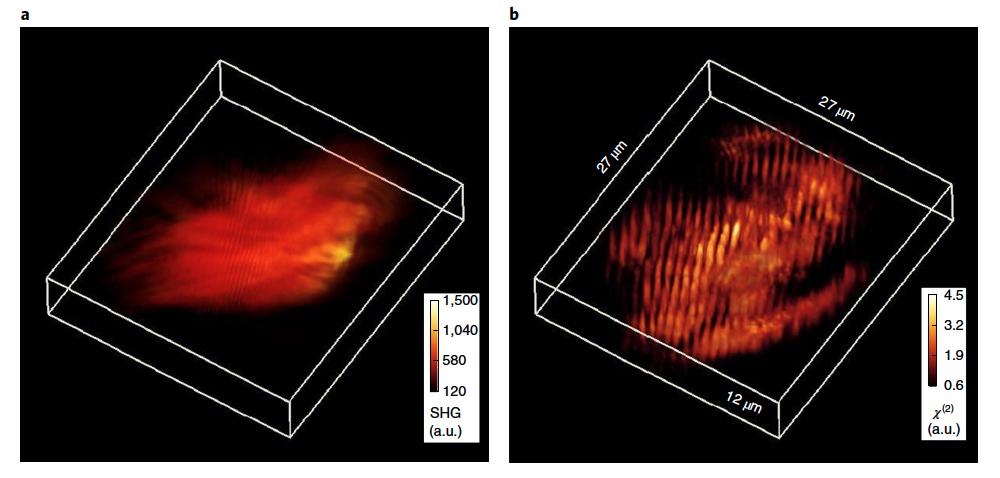 harmonic optical tomography image of murine skeletal muscle