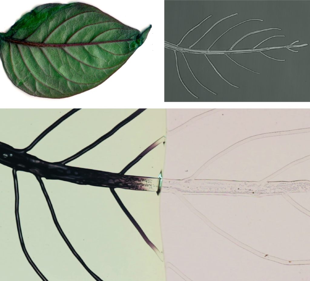 Manufacturing of a vascularized structure using a 3D-printed template that mimics vascular networks of a leaf. Photo credit: Mayank Garg